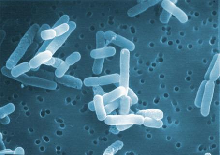 Lactobacillus Routeri